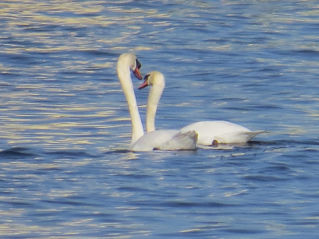Swans - what harmony :) Mississauga, Ontario Canada