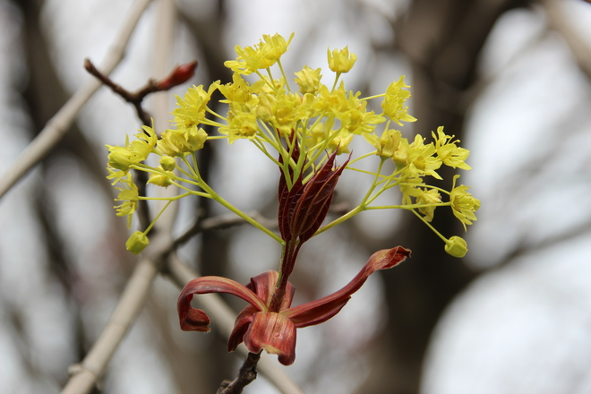 Blooming Maple Tree. Toronto, ON