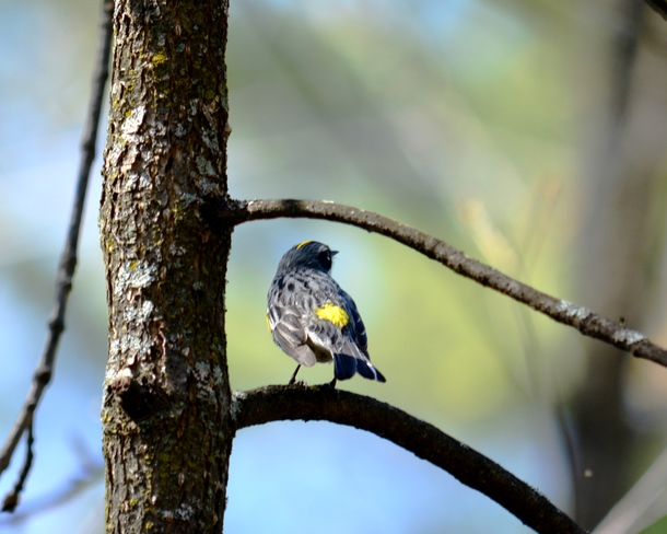Yellow rumped warbler, showing off his yellow rump! Ottawa, ON