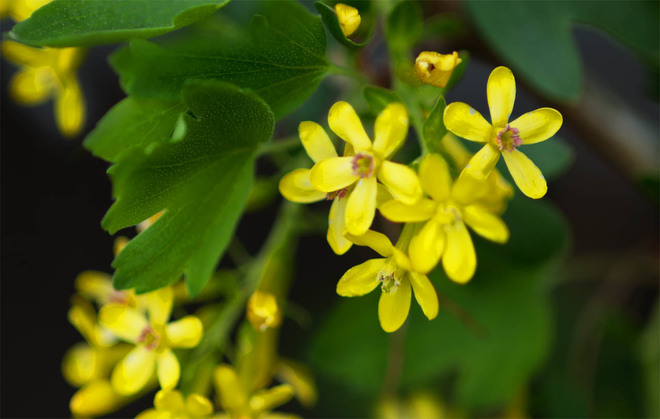 Blossoming Aromatic Shrubs