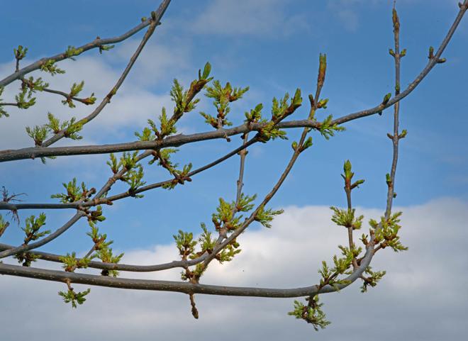 Bursting Tree Buds