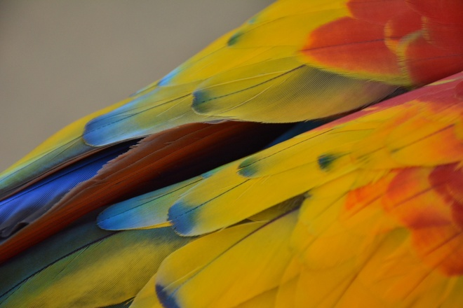 Wing of a scarlet macaw 17-27 Briarglen Road, Markham, ON L6C 2K5, Canada