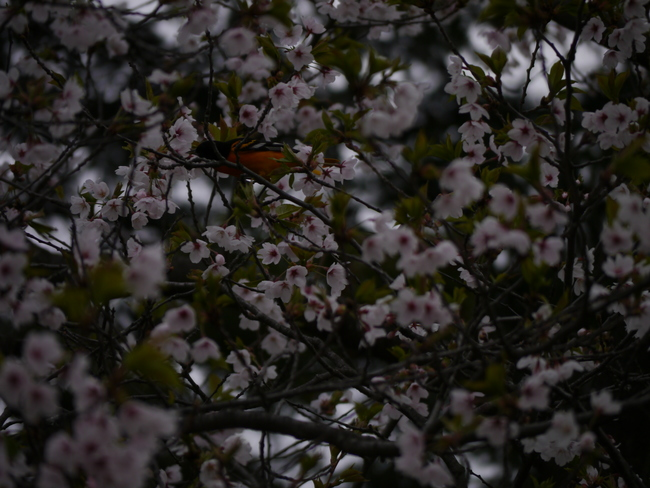 Oriole and Cherry Blossoms High Park, Toronto, ON