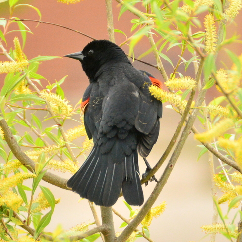 Red-Winged Blackbird Townsend, ON