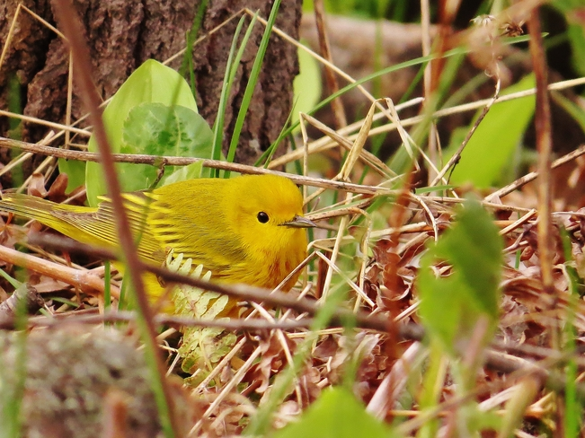 A happy Yellow Warbler enjoying the evening. North Bay, ON