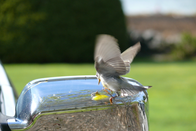 Northern Parula in Weymouth, NS Weymouth North, NS