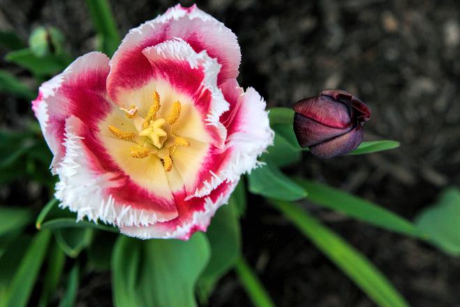 Tulips London, ON