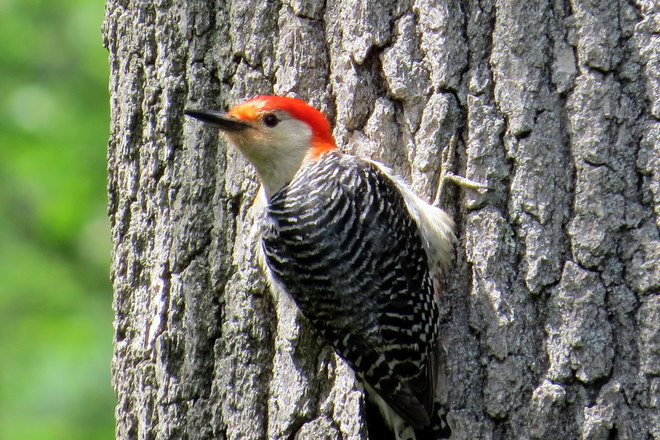 red bellied woodpecker Somerset, NJ, United States