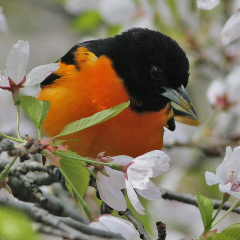 Orchard Oriole Toronto, ON