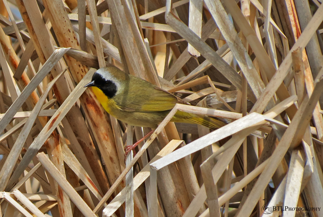 Common Yellowthroat Point Pelee National Park, Leamington, ON