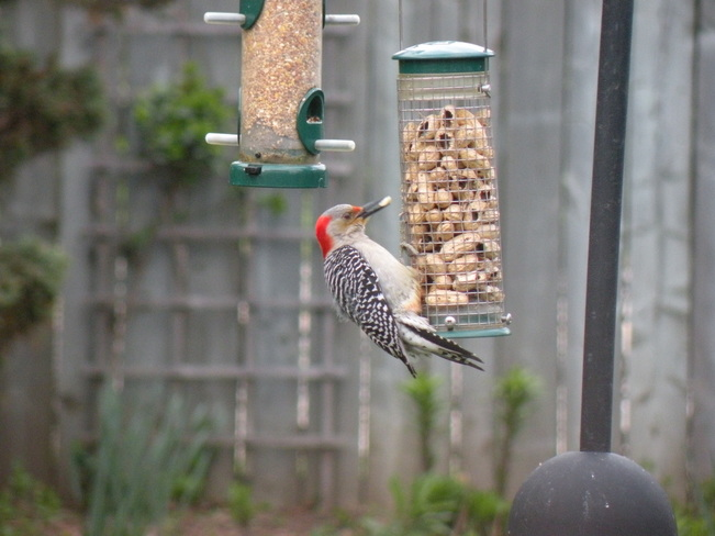 Red-bellied woodpecker Kitchener, ON