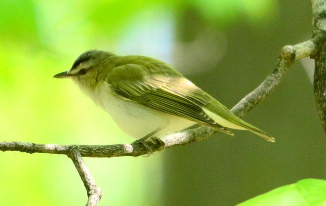 Warbling Vireo Laval, QC