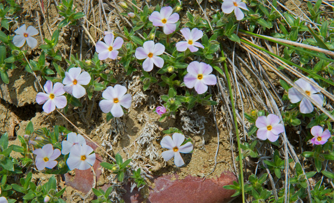 Wildflowers at Milk River Ridge Lethbridge, Alberta Canada