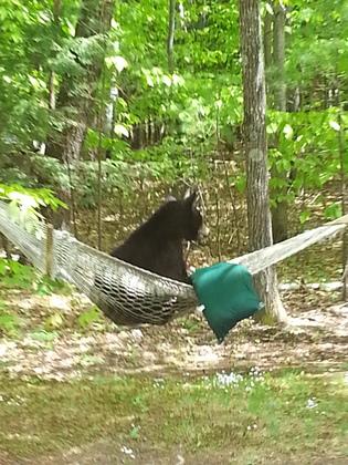 north conway bear in hammock   munity   north conway bear in hammock     rh   ulocal wmur