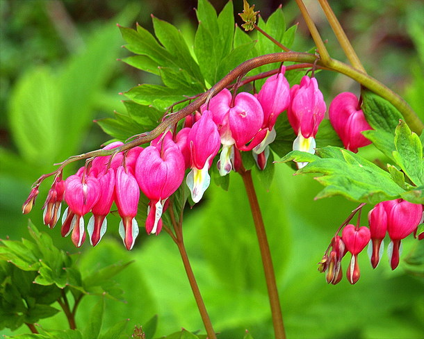 Bleeding Heart Scarborough, Toronto, ON