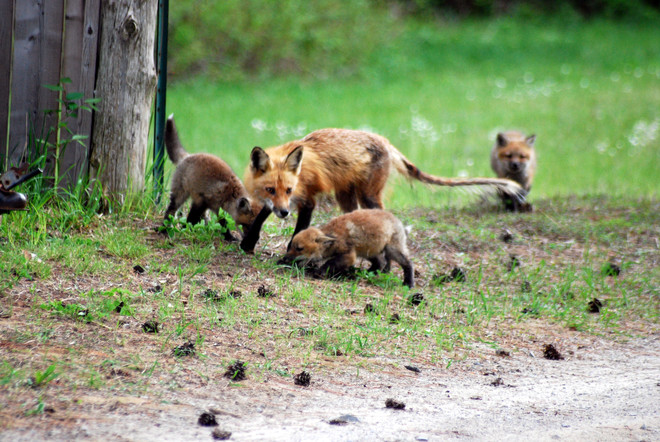 Mother Fox and kits. Tweed, ON