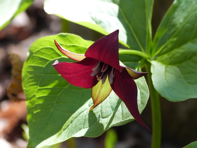 RED TRILLIUM Port Carling, ON