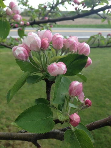 Apple blossoms Sinclairville, Ontario Canada