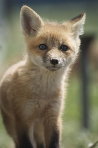 Baby Fox Is Very Inquisitive! Heroux Road, New Liskeard, ON P0J 1P0, Canada