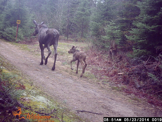 Mother moose and her baby wandering my trails.