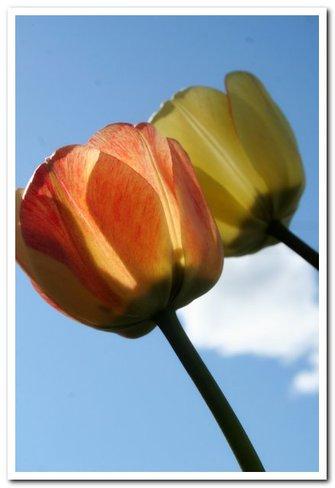 Tulips Espanola, ON