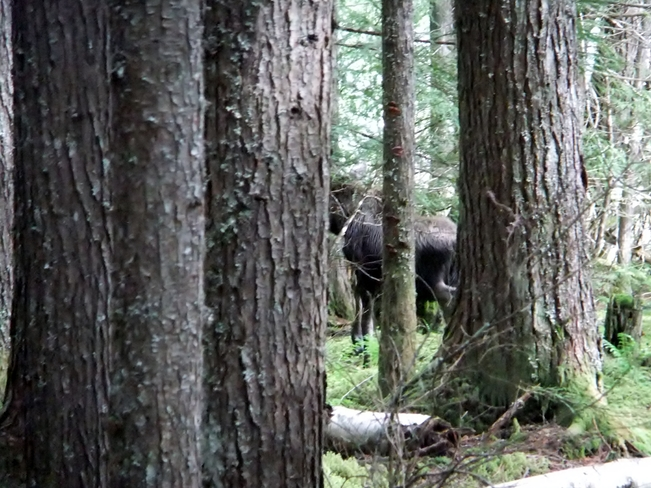 moose in the forest Fauquier, BC