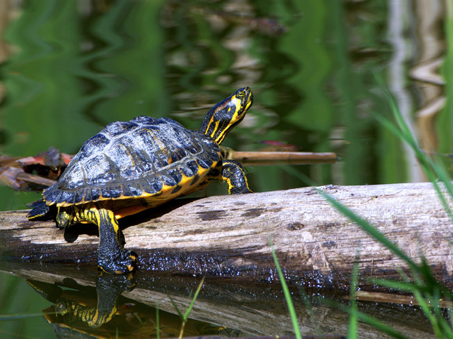 Painted Turtle (Chrysemys picta) Tsawwassen, Delta, BC