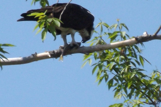 What a catch the Osprey got !!! Pembroke, Ontario Canada