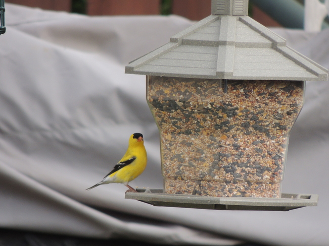 Gold Finch at my back yard feeder.