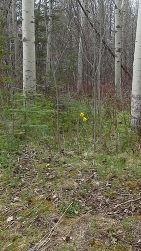 2 daffodils in the woods Porcupine, Timmins, ON