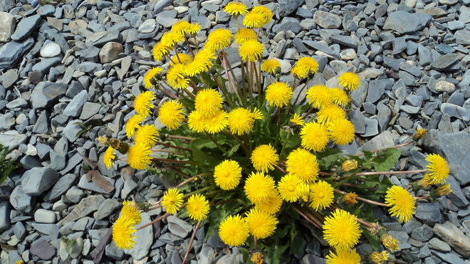 Our spring flower Carbonear, Newfoundland and Labrador Canada