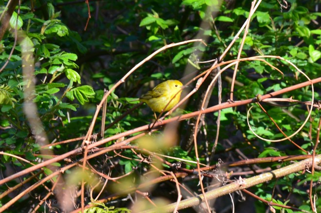 Warblers! St. Catharines, ON, Canada