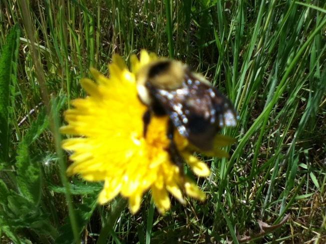 a buzzy bumbleBee South Vernon, British Columbia Canada