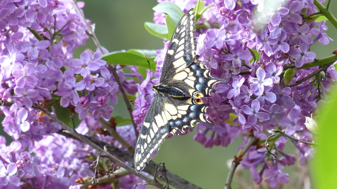 Butterflly gliding on a lilac 7248-7350 Mountain Place, Grand Forks, BC V0H 1H9, Canada