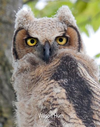Great Horned Owlet Ottawa, ON