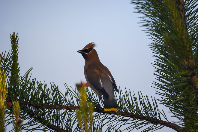 Waxwing on pine branch Iona Spit Trail, Richmond, BC V7B 0A8, Canada