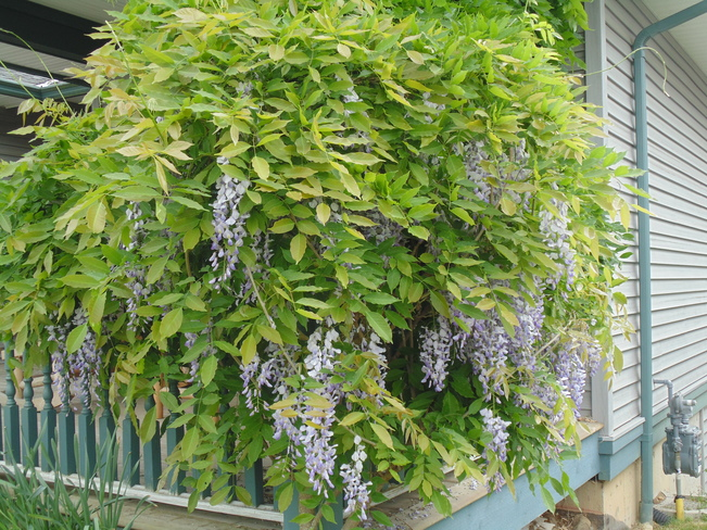 Wisteria in full bloom 2407 Inverclyde Way Courtenay, BC V9N 1Y9, Canada