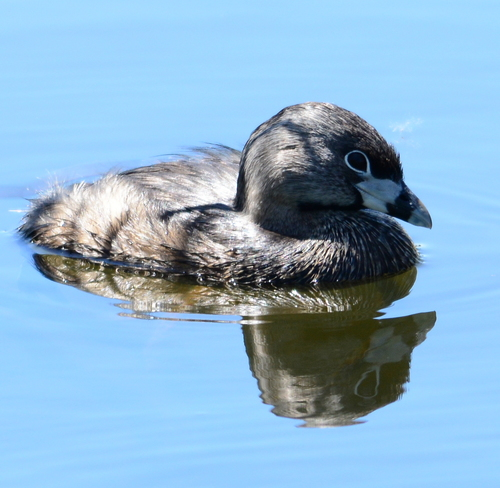 Pied billed grebe Laval, QC