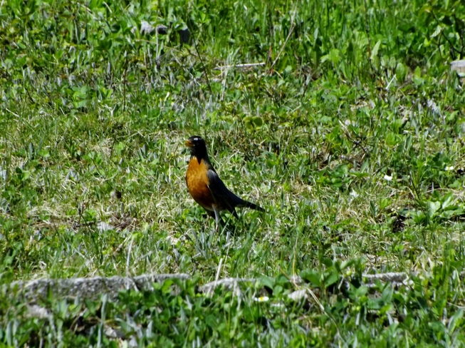 Robin Looking for food 20 second ave, Pasadena, NL A0l 1K0