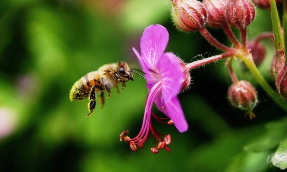 5b. Chercheur de pollen