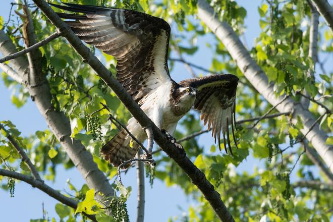 Osprey in a Tree Kingston, ON