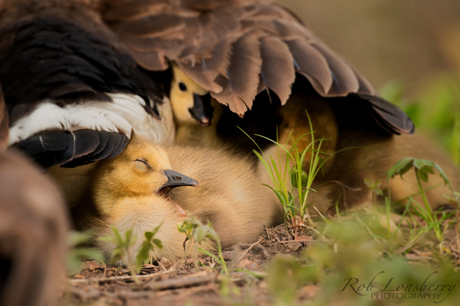Getting Ready for a nap under mom's wing Oshawa, ON