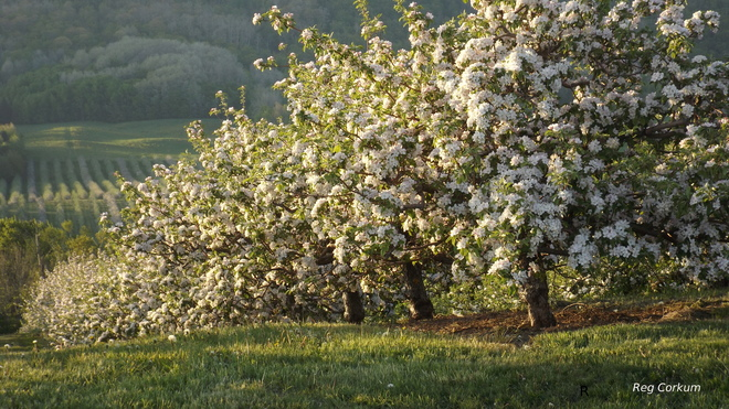 Apple Blossom Time in Annapolis Valley, Nova Scotia Delhaven, NS