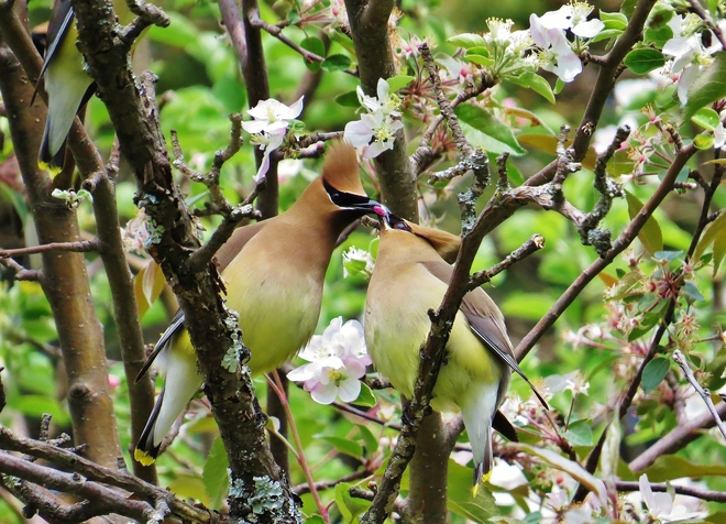 "Playing ""Hot Potato"" Cedar Waxwing style. North Bay, ON"