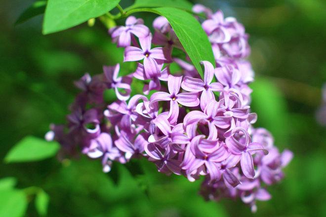 Lilac Toronto, ON