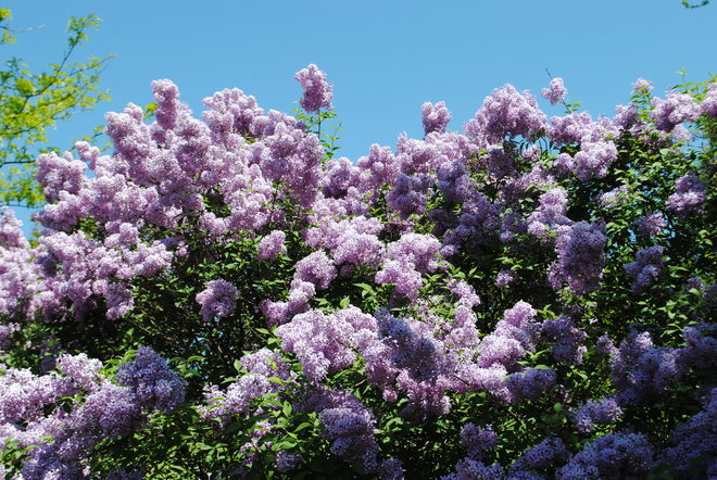 Lovely Lilacs Kingston, ON