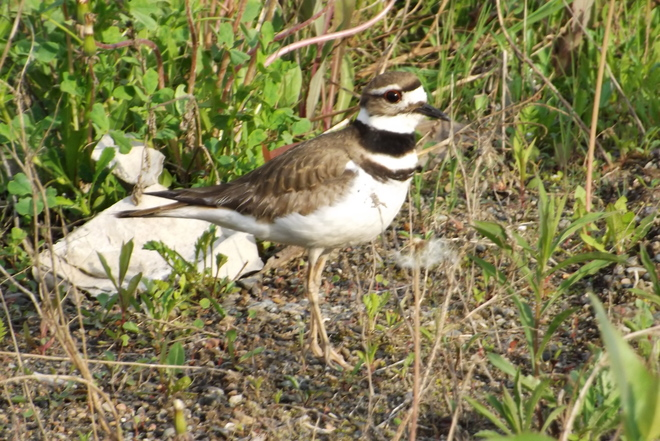 KILLDEER PARENT Thunder Bay, ON