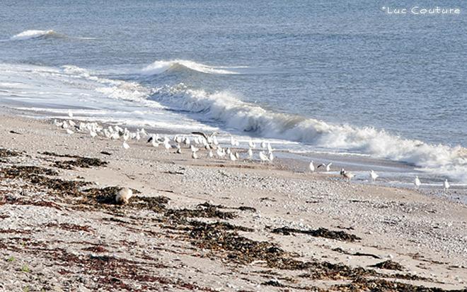 Go�land sur la plage....