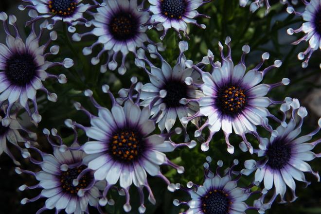 African Daisies Greater Napanee, ON