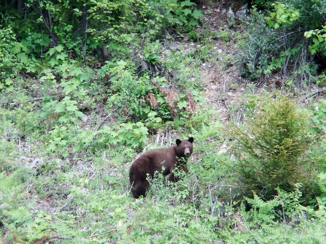 Black bear and a deer Fauquier, BC